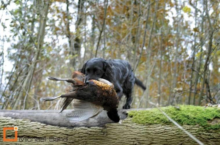 Jagthundens træning: Stødende hunde