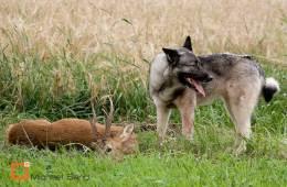 Hund overlever 24 dage i skoven