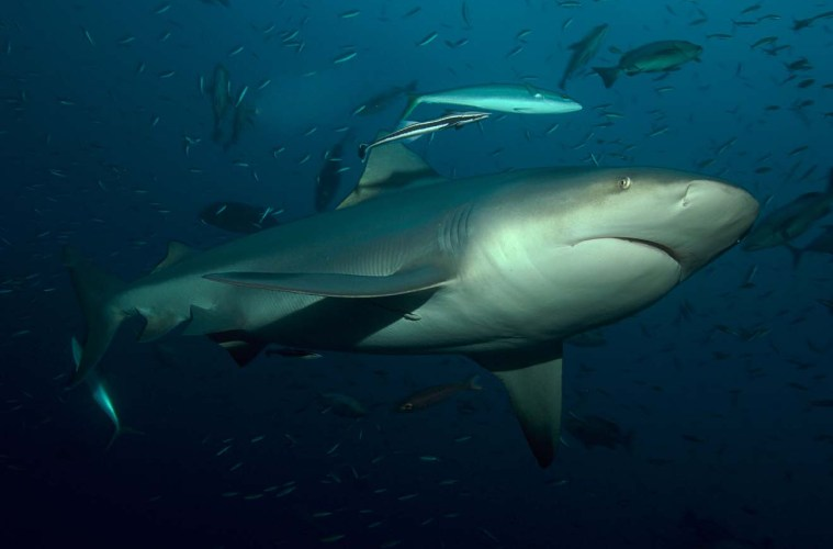 Verdens største Zambezi haj fanget