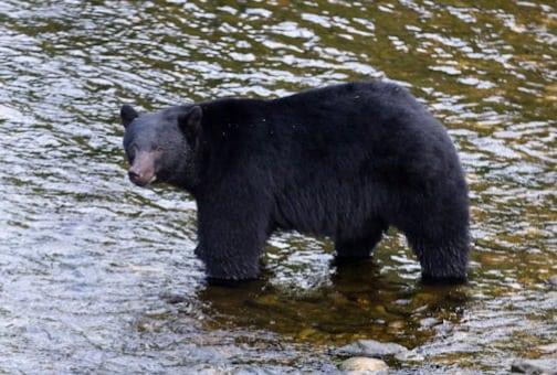 Canadisk bjørnejagt kræves stoppet