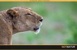 Kenyas løver forsvinder