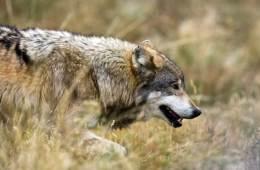 Ulvegalskaben har bredt sig til USA