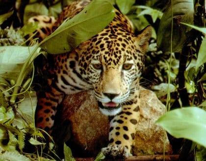 Advarer mod jaguarjagt