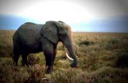 Botswana øger sin elefant-afskydning