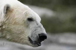 Isbjørne i Grønland i vækst