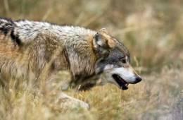 Aktindsigt i overvågning af ulv