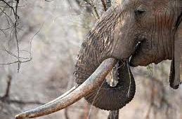 Botswanas regering på vej med jagtstop