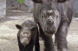 Næsehornshorn atter på auktion