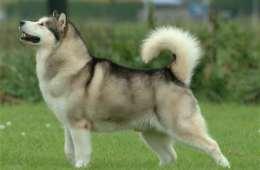 Er ulven virkelig en hund ?