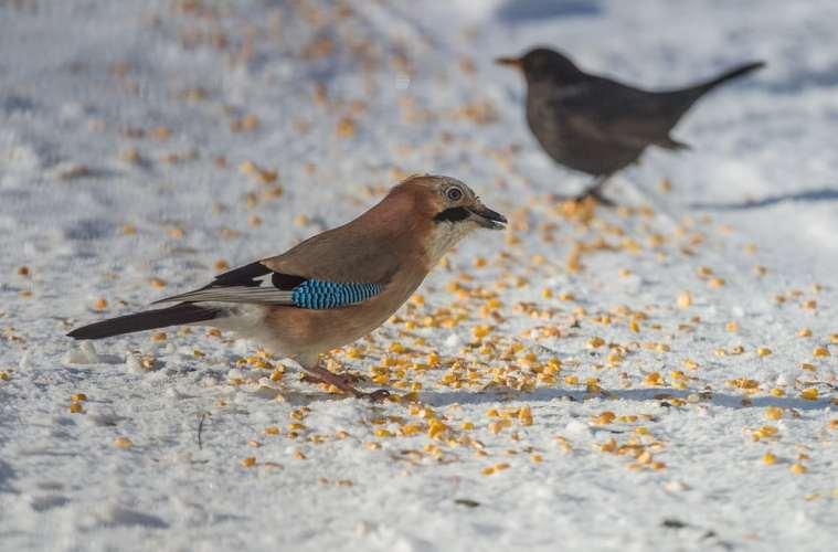 Sne og frost sender sæsonen for fodring på vingerne