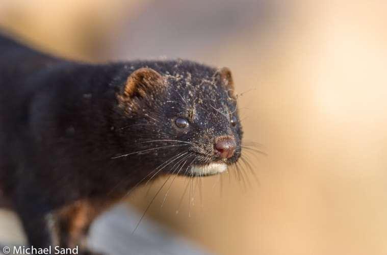 Revirpleje: Bekæmpelse af mink