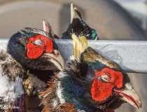 Stop giftdrab på rovfugle