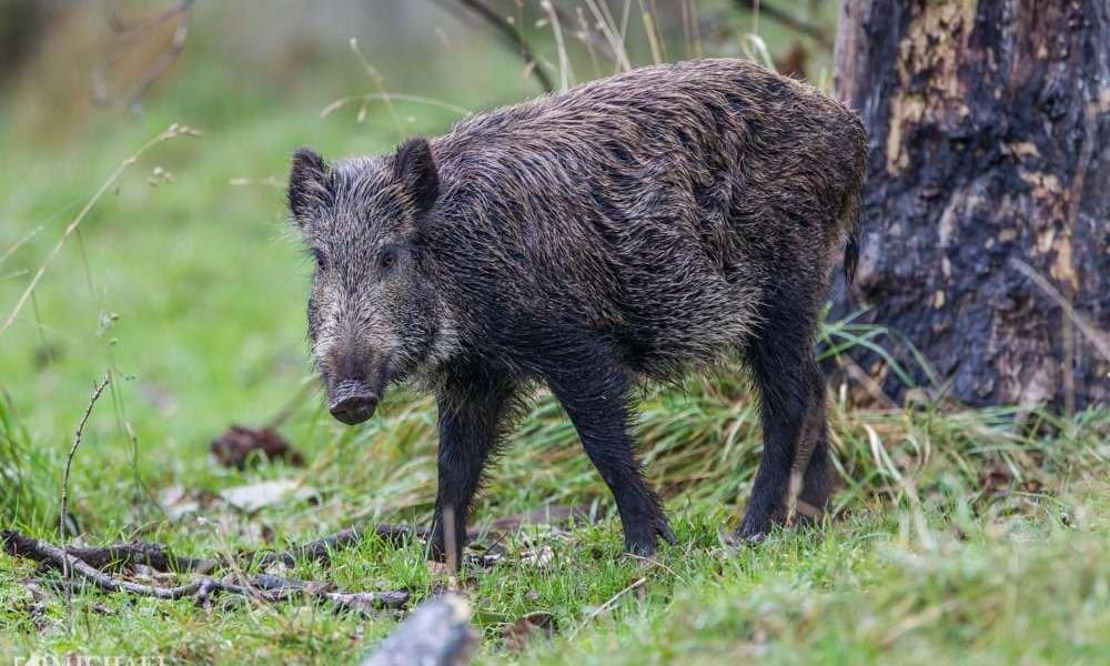 Afrikansk svinepest i Tyskland syntes uundgåelig
