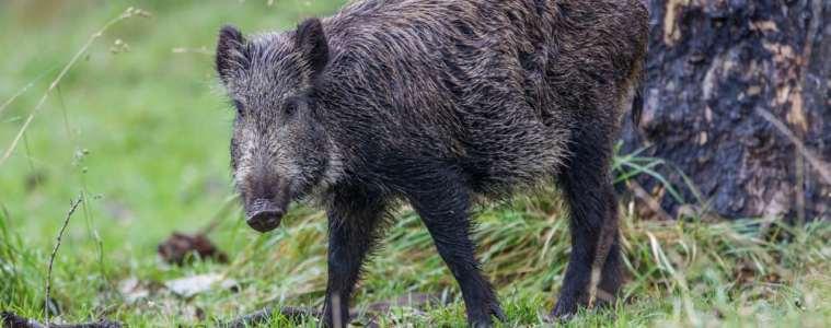 Ny vaccine mod svinepest giver håb for vildsvin i Danmark