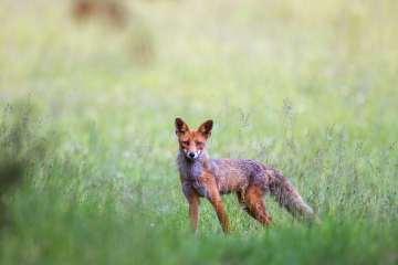 Hvalpesyge blandt rævene