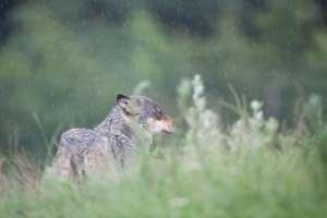 Ulveangreb på naturpleje-får giverkonflikt