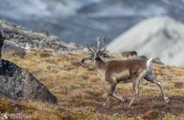 Nu åbnes der op for buejagt i Grønland