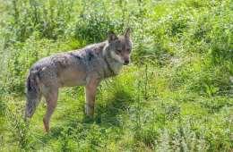 Skabsramte ulve kurerer ofte sig selv