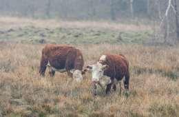 Umuligt at fastslå dødsårsag hos de dræbte kalve i Nordjylland