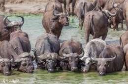 Bøfler udsat med succes i Sydafrika