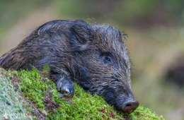 Jæger smittet med trikiner fra vildsvinekød