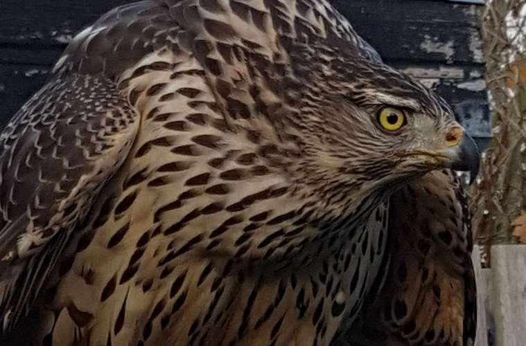 Rovfugle dræbt af ulovlig gift - se antallet her