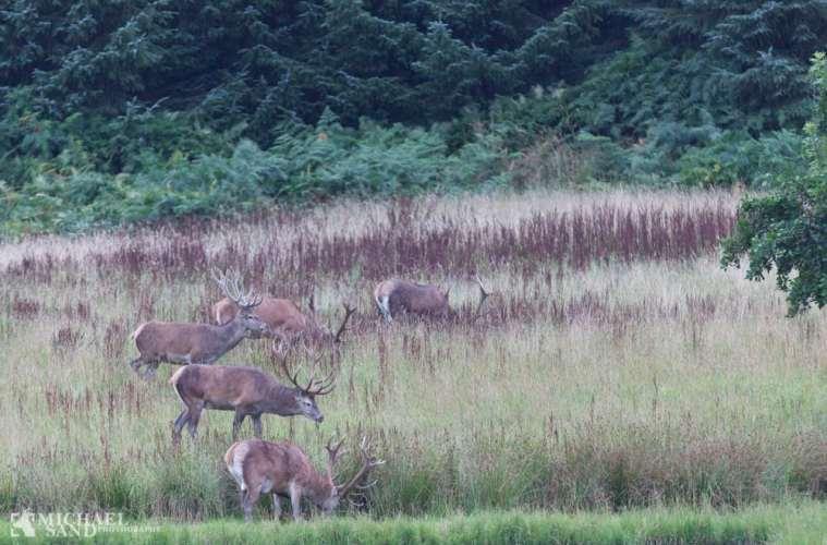 Rekord-afskydning af krondyr i Harzen