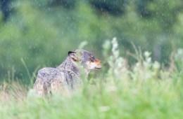 Fyn har med sikkerhed haft ulvebesøg