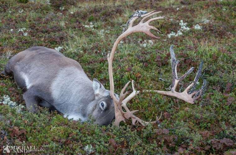 Godt jagtår på vildrener i Norge