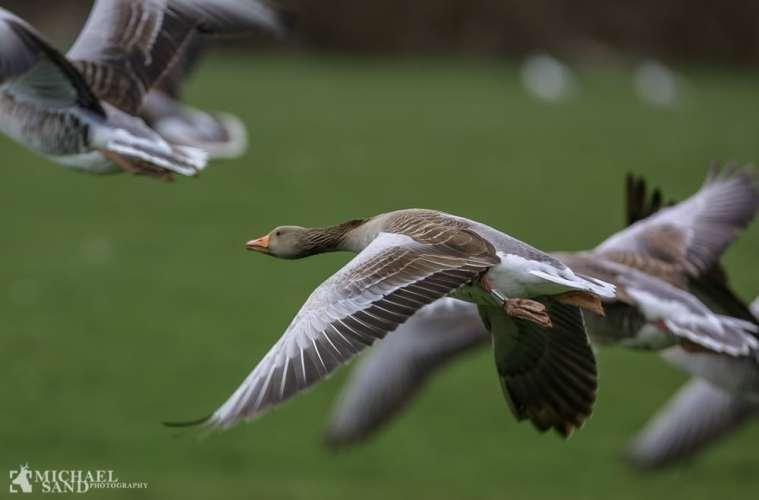 Grågåsen - fra fåtallig til talrig dansk ynglefugl