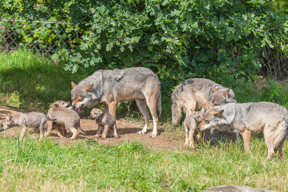 Tysk politi stopper en illegal transport med ulve