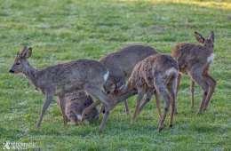 Kommunale detaljer om afskydning af hjortevildt