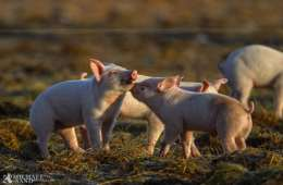 Viden om: Klassisk svinepest