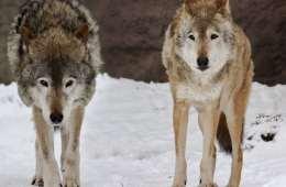 Finland: Tolv jægere dømt for ulvejagt