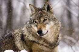 Ulvebillede
