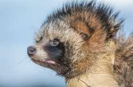 Maarhund invasiv netnatur