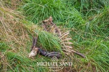 Råbukken dræbes i forårets trafik