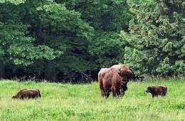 Bornholm: Fortsat vækst i bisonbestanden