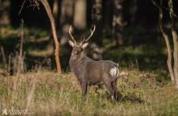 Sikavildtet - skovens grå spøgelser