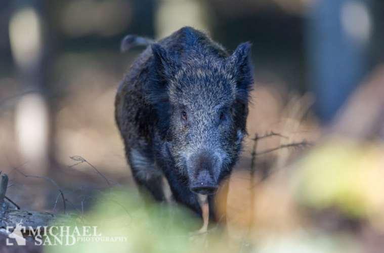 Vildsvin spiddet under frontal angreb