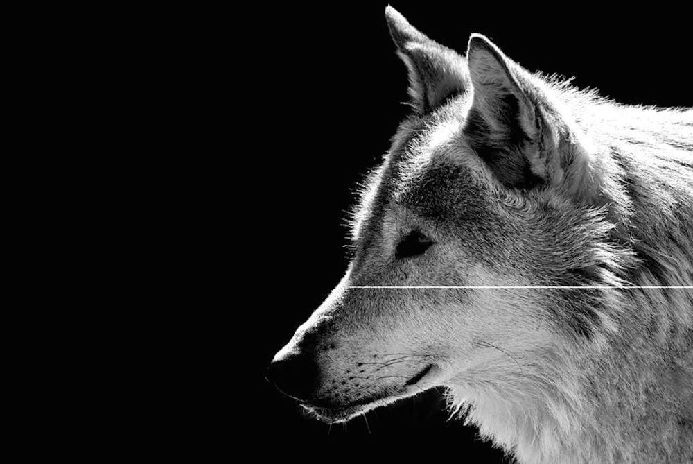 Finsk ulveekspert: DNA kan ikke anvendes til artsbestemmelse