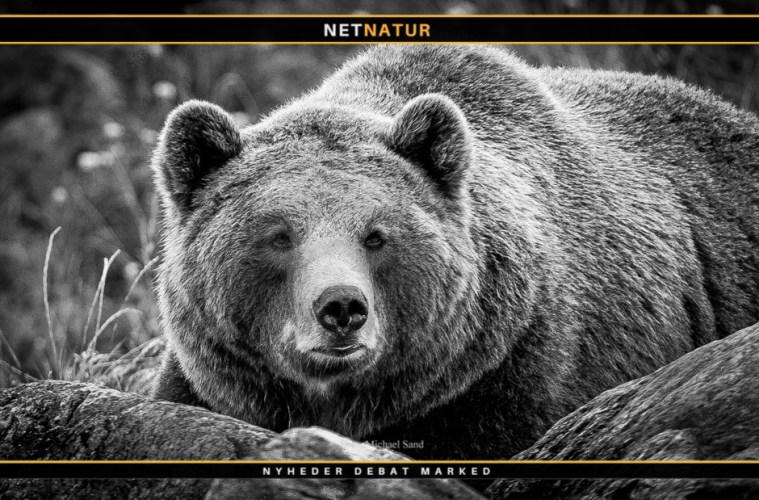 Bjørnejagt