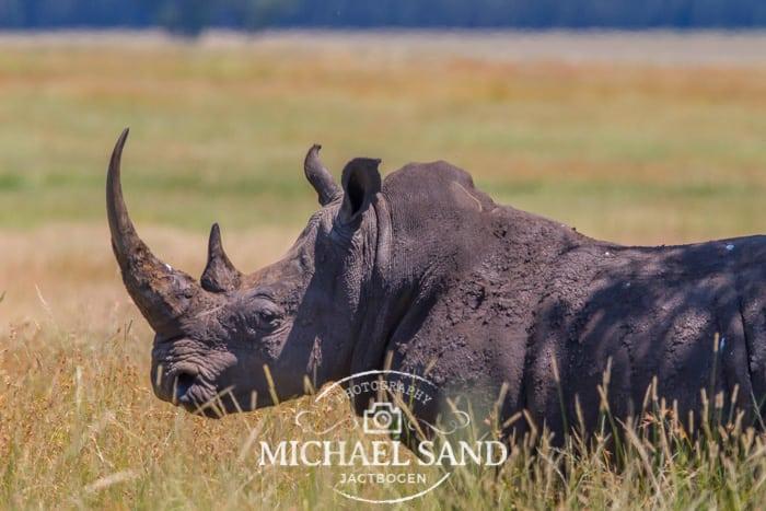 Falske horn fra næsehorn kan måske udfase krybskytteriet