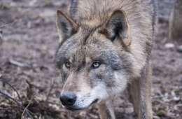Er ulvene nu kommet til Fyn?