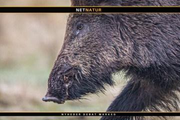 Afrikansk svinepest breder sig i Tyskland