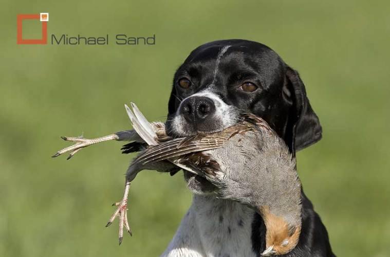 Jagthundens træning: Jagthunden på agerhønejagt