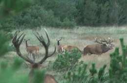video Kronvildtbrunst i Hjardemål