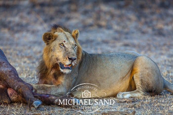 Krybskytte dræbt af løve