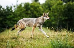 Udmagrede russiske ulve dræber 30 heste på 4 dage