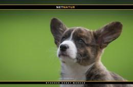Hunden stammer fra Asien
